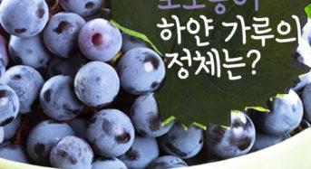 [Story Cook] 포도송이 하얀가루의 정체