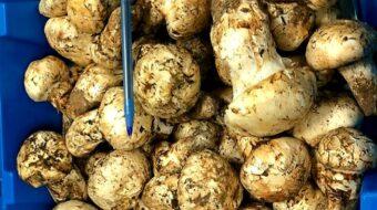 '보약보다 좋은 선물' 자연산 송이버섯 맛보세요