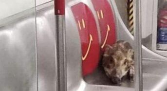 [영상] 지하철로 바다 건넌 새끼 멧돼지
